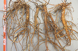 Licorice roots harvested 18 months after sowing